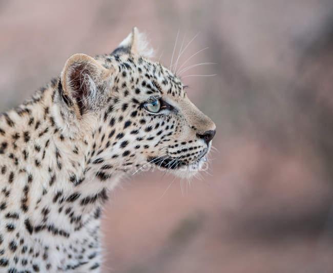Крупним планом подання leopard дитинча морда проти розмитість фону — стокове фото