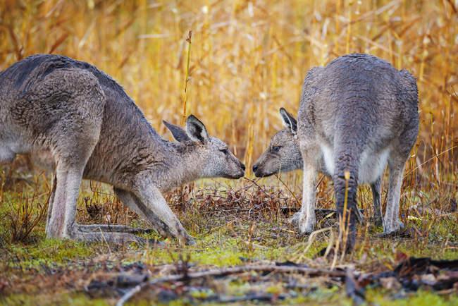 Deux kangourous face à face dans le champ, Australie — Photo de stock
