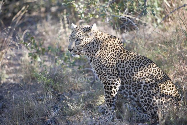 Южная Африка, милый леопард, сидя на дикой природы — стоковое фото