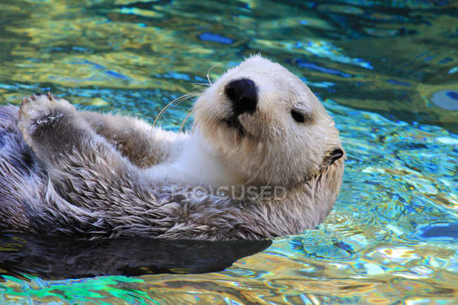 Adorable sea otter swimming in blue water — Stock Photo