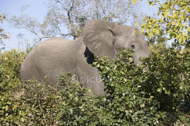 Beautiful grey elephant feeding at wild nature — Stock Photo