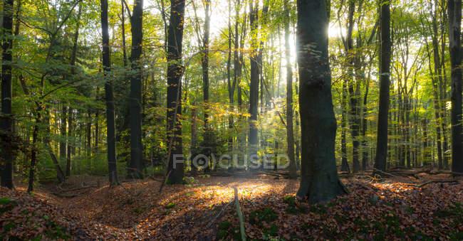 Vista maestosa della bellissima foresta con luce solare panoramica — Foto stock