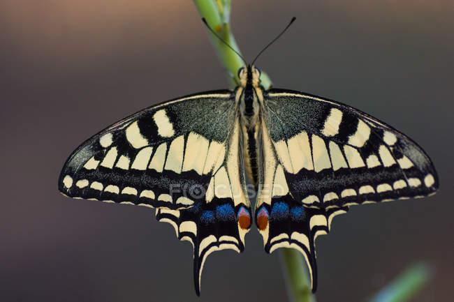 Papilio mariposa con alas extendidas sentado en el tallo de la planta contra el fondo borroso - foto de stock