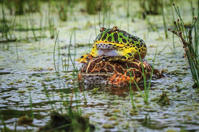 Kröten paaren sich im Teich, Nahaufnahme, wildes Leben — Stockfoto