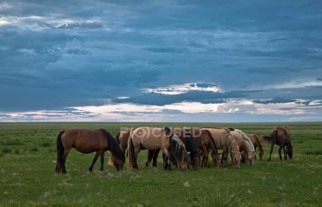 Монголия, Дорнод, лошади выпаса пастбища — стоковое фото