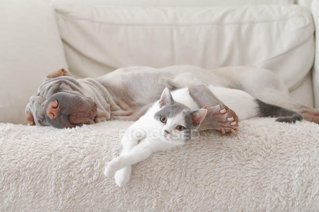 Cat and shar pei dog hugging on sofa indoors — Stock Photo