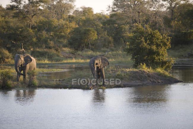 Majestätische Elefanten in wilder Natur in der Nähe von Wasserstellen — Stockfoto