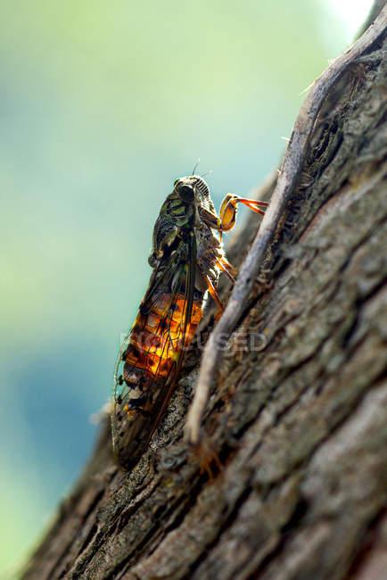 Volo Cicala seduta sull'albero contro sfondo sfocato — Foto stock