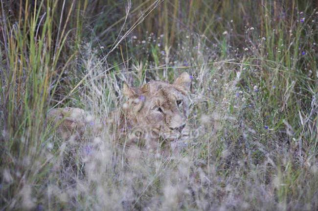 Wunderschönen majestätischen Löwen versteckt in langen Rasen in die wilde Natur — Stockfoto