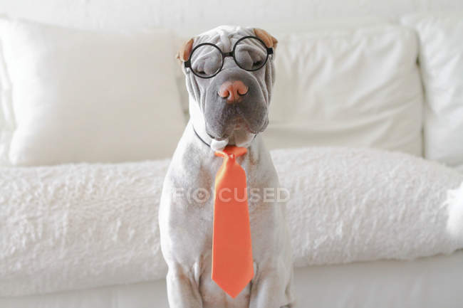 Funny Shar-pei dog dressed as businessman looking at camera — Stock Photo