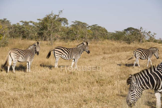 Південна Африка, Лімпопо, Національний парк Крюгера, зебр в дикій природі — стокове фото