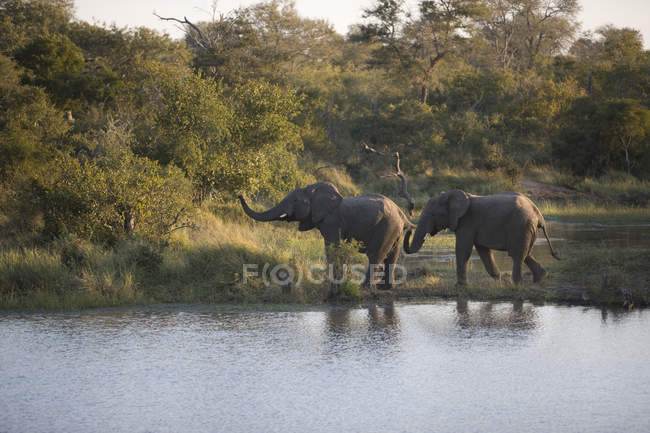 Two elephants by waterhole, wild life — Stock Photo