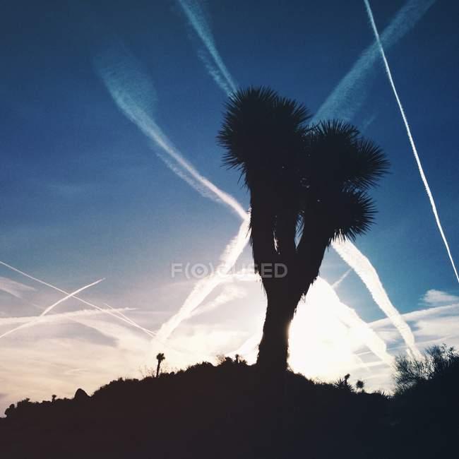 Живописный вид силуэт Джошуа дерево, Дерево Джошуа Национальный парк, штат Калифорния, Америки, США — стоковое фото