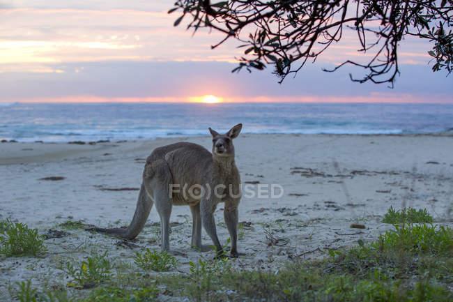 Canguro divertido en la hermosa playa al atardecer, Australia - foto de stock