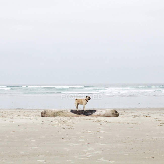 Side view of pug dog standing on driftwood on beach — Stock Photo