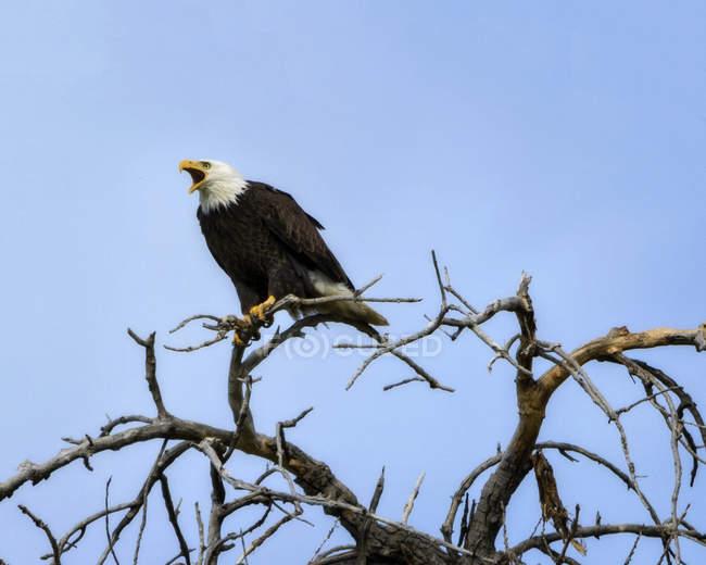 Aigle à tête blanche hurlant dans l'arbre de nidification — Photo de stock
