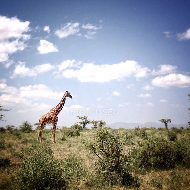 Kenya, Samburu National Park, giraffe standing in wild nature — Stock Photo
