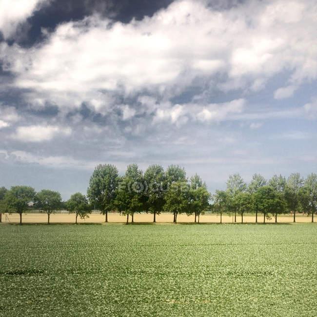 Fila di alberi sotto cielo nuvoloso — Foto stock
