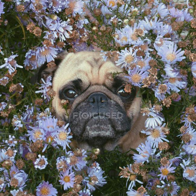 Retrato de pug en medio de flores, marco completo - foto de stock