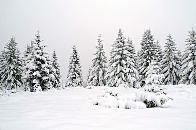 Scenic view of snow covered fir trees — стоковое фото
