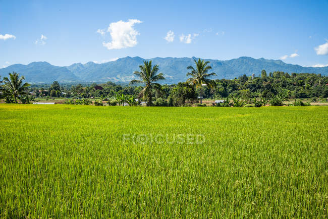 Green grass meadow and palms trees, mountains on background — Stock Photo