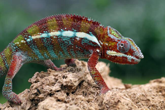 Primer plano de un lagarto sentado en la roca - foto de stock