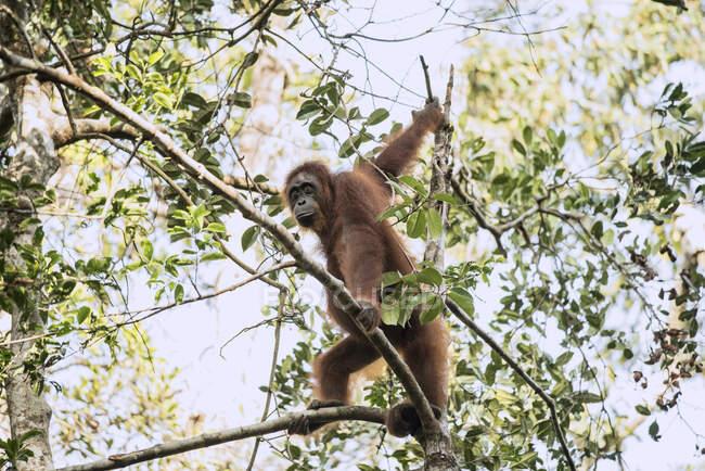 Un primer plano de un joven orangután lindo en la selva. - foto de stock