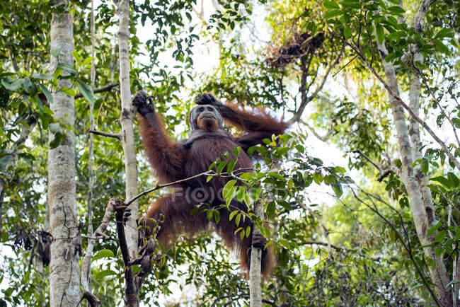 Un primo piano colpo di un giovane orango carino nella giungla. — Foto stock