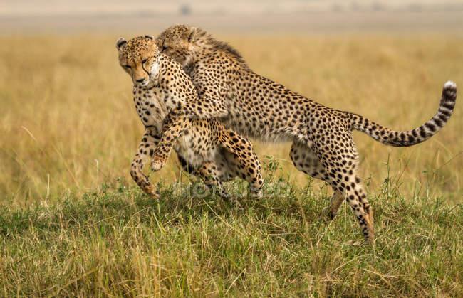 Zwei majestätische Geparden, die zusammen im Gras kämpfen — Stockfoto