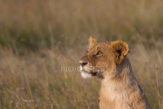 Closeup view of cute lion muzzle, selective focus — Stock Photo