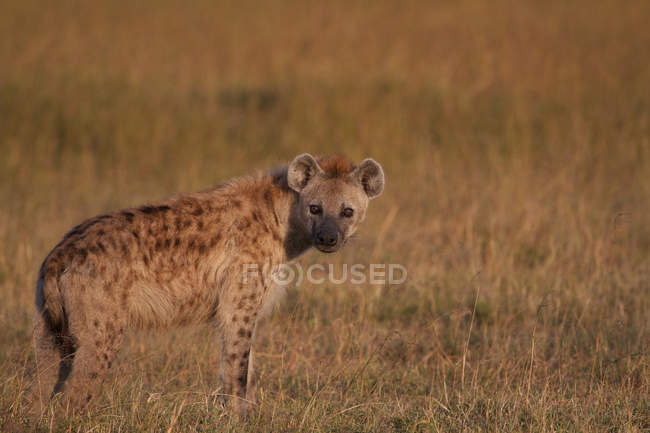 Gazing Hyena at field in wild nature — Stock Photo
