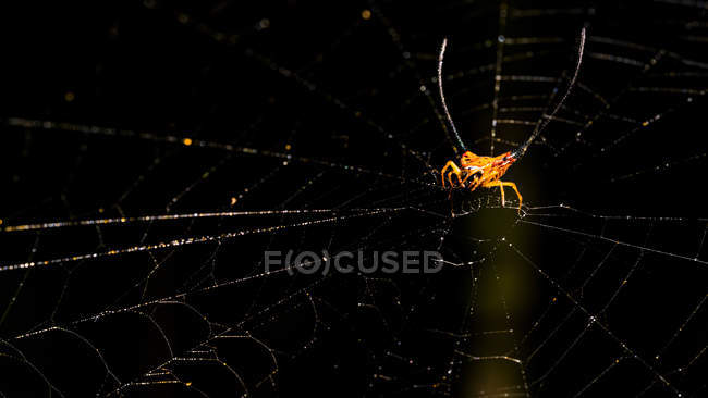 Closeup view of Long horned or Orb-weaver spider on the web, selective focus — Photo de stock