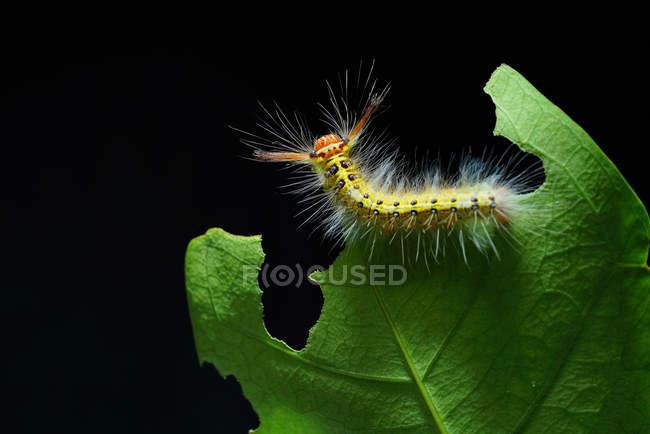 Caterpillar laineux sur la feuille verte avec fond foncé — Photo de stock