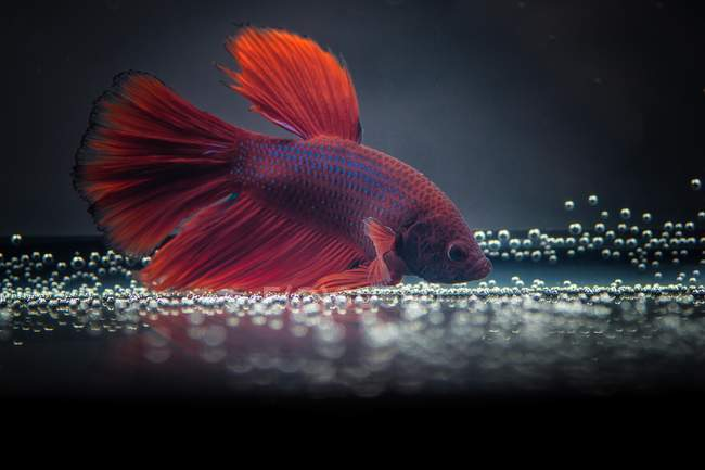 Closeup view of majestic betta fish on black background — Stock Photo