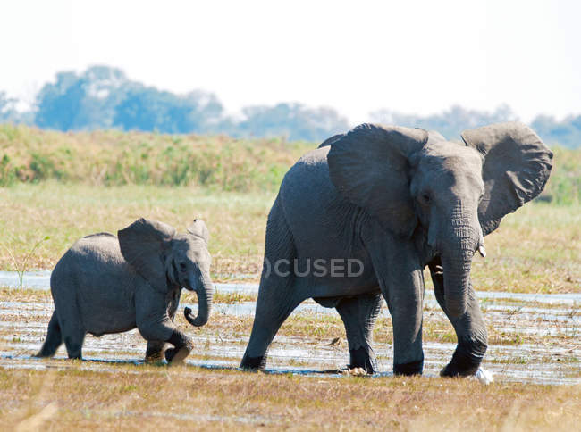 Elefante che cammina in fiume con vitello dell'elefante, Botswana — Foto stock