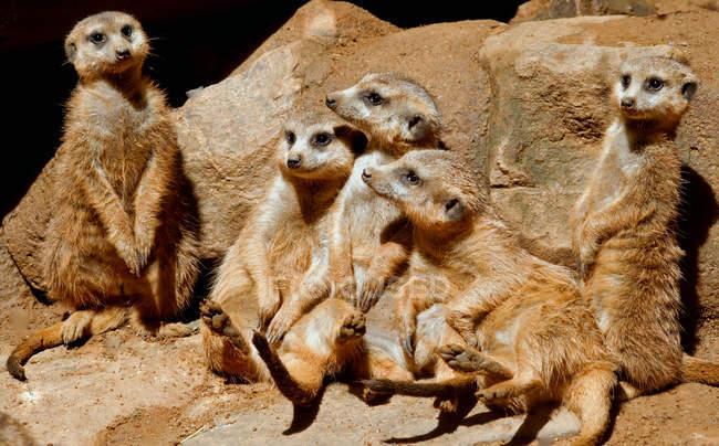 Erdmännchen sitzen auf Felsen, Mpumalanga, Südafrika — Stockfoto