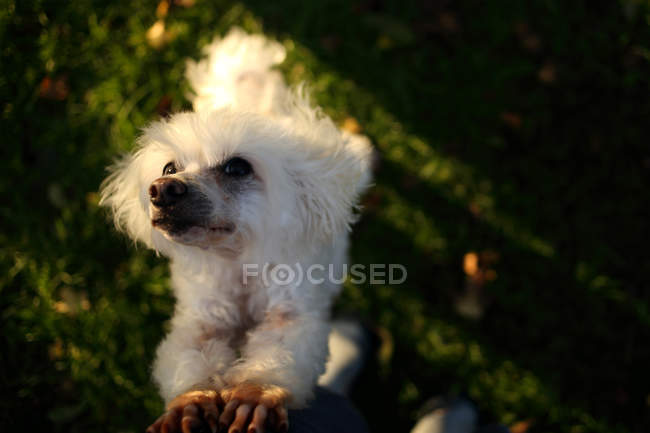 Bichon Frise dog rearing up begging, closeup view — Stock Photo