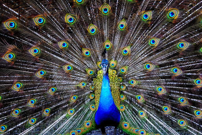 Portrait of a peacock bird with outspread colorful tail — Stock Photo