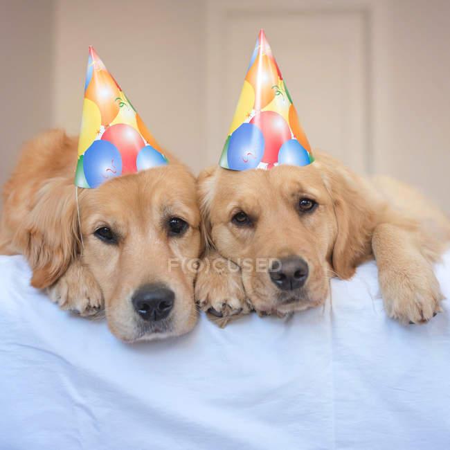 Два золотых ретривера в шляпах для вечеринок — стоковое фото