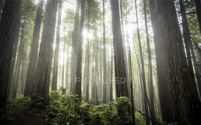 Мальовничим видом Америці Prairie Creek Park держави Redwoods, Каліфорнія, США — стокове фото