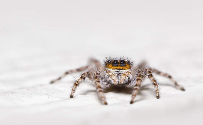 Portrait of a jumping spider, selective focus — Photo de stock