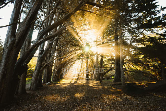 Sunlight beaming through a Cypress Tree Grove, Fitzgerald Marine Reserve, California, America, USA — Stock Photo