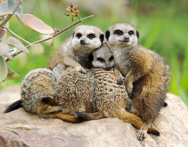 Mob of meerkats huddling together, South Africa — Stock Photo