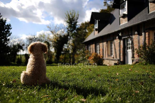 Cão da caniche que senta-se em um jardim, vista traseira — Fotografia de Stock