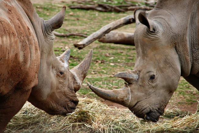 Два южных белый носорог близко друг к другу — стоковое фото