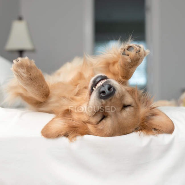 Golden retriever dog rolling around on a bed, closeup view — Stock Photo
