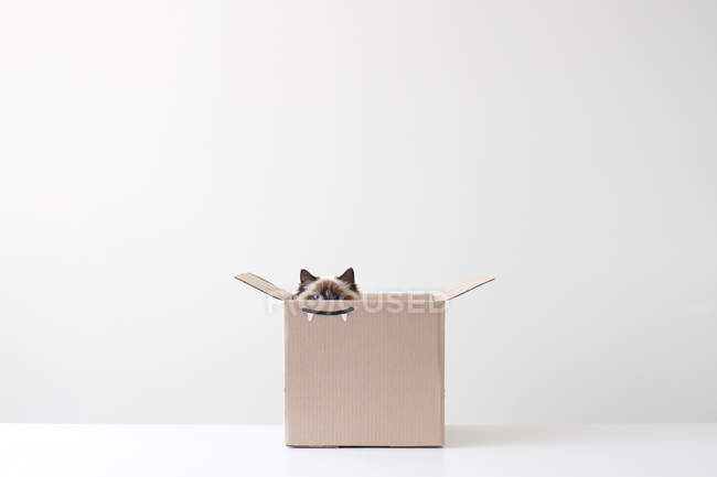 Ragdoll cat hiding in cardboard box with vampire teeth drawing — Stock Photo