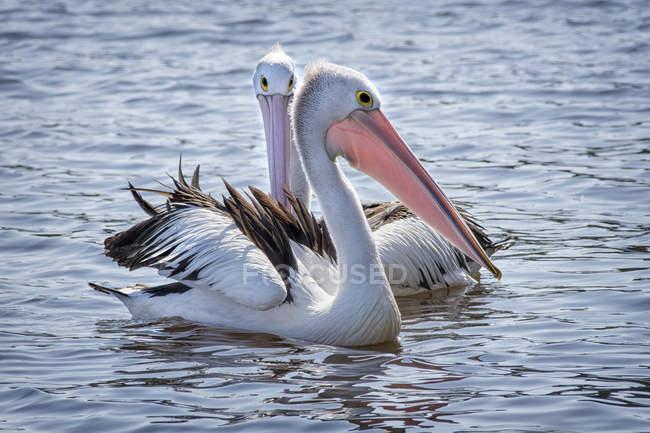 Belos e majestosos pelicanos em vida selvagem — Fotografia de Stock