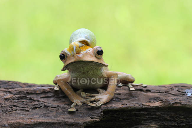 Snail sitting on top of an eared frog, closeup view — Stock Photo