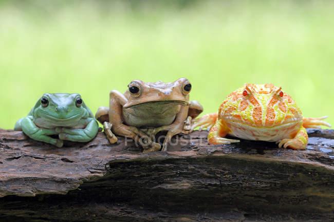 Три лягушки сидят на бревне, размытом фоне — стоковое фото